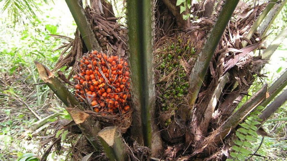 Is biologische palmolie een alternatief?